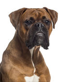 Headshot of a Boxer (10 months old) — Stockfoto
