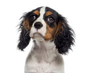Headshot of a Cavalier King Charles Spaniel puppy (19 weeks old) — Stock Photo