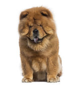 Chow Chow sitting (3 years old) — Stock Photo