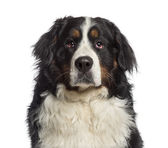 Headshot of a Bernese Mountain Dog (18 months old) — Stock Photo