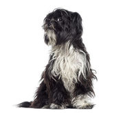 Shaggy Shih Tzu questioning (9 months old) — Stock Photo