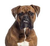 Headshot bokser (10 miesięcy) — Zdjęcie stockowe