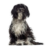 Shaggy Shih Tzu (9 months old) — Stock Photo
