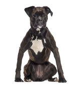 Boxer wearing a harness (2 years old) — Stock Photo