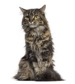 Maine Coon kitten sitting (4 months old) — Stock Photo