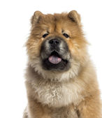 Headshot of a Chow Chow (7 months old) — Stock Photo