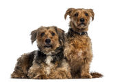 Two Crossbreed — Foto Stock