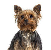 Headshot of a Yorkshire Terrier — Foto Stock