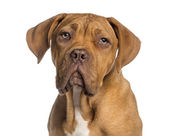 Headshot of a Dogue de Bordeaux puppy (5  months old) — Stock Photo