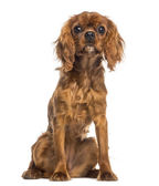 Cavalier King Charles Spaniel puppy sitting (5 months old) — Stock Photo