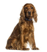 English Cocker Spaniel sitting (2 years old) — Stock Photo
