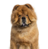 Headshot of a Chow Chow (3 years old) — Stock Photo