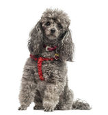 Poodle wearing a harnese (3 years old) — Stock Photo