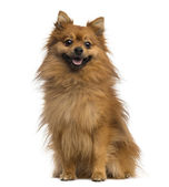 German Spitz (2 years old) — Stock Photo