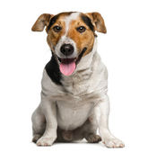 Jack Russell Terrier (3  years old) — Stock Photo
