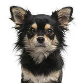 Chihuahua facing at the camera — 图库照片