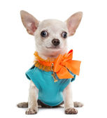 Dressed Chihuahua — Stock Photo