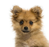 Headshot of a German Spitz puppy (3 months old) — Stock Photo