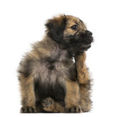Crossbreed puppy scratching itself (2 months old) — Stockfoto
