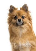 German Spitz — Stock Photo