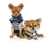 Tow dressed Chihuahuas (2 years old) — Stock Photo