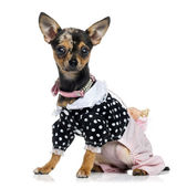 Dressed Chihuahua (1.5 years old) — Stock Photo
