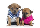 Two dressed Chihuahuas puppies (1 month old) — Stok fotoğraf