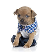 Dressed Chihuahua puppy (1 month old) — Stock Photo
