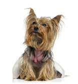 Dressed Yorkshire Terrier looking up (5 years old) — Stock Photo