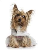 Ubrany yorkshire terrier (5 lat) — Zdjęcie stockowe