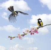 Two Great tits, clouded sky, flowering branch — Stock Photo