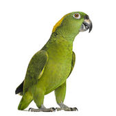 Yellow-naped parrot looking at the camera (6 years old), isolate — Stock Photo