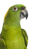 Headshot of a Yellow-naped parrot (6 years old), isolated on whi — Stock Photo