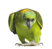 Yellow-naped parrot (6 years old), isolated on white — Stock Photo