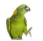 Yellow-naped parrot (6 years old), isolated on white — Stockfoto