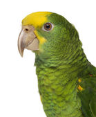 Close-up of a Yellow-headed Amazon (6 months old), isolated on w — Stock Photo