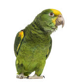 Yellow-headed Amazon (6 months old), isolated on white — Stock Photo