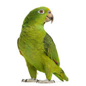 Panama Yellow-headed Amazon (5 months old) isolated on white — Stock Photo