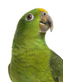 Close-up of a Panama Yellow-headed Amazon (5 months old) isolate — Stock Photo