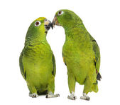 Panama Amazon and Yellow-crowned Amazon pecking, isolated on whi — Stock Photo