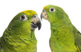 Close-up of a Panama Amazon and Yellow-crowned Amazon isolated o — Stock Photo