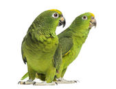 Panama Amazon and Yellow-crowned Amazon isolated on white — Stock Photo