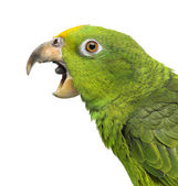 Close-up of a Panama Yellow-headed Amazon (5 months old) with it — Stock Photo