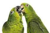 Close-up of a Panama Amazon and Yellow-crowned Amazon pecking, i — Stock Photo