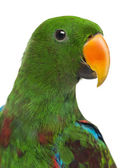 Close-up of a Male Hybrid Eclectus parrot (7 months old) isolate — Stock Photo