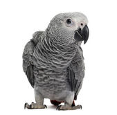 African Grey Parrot (3 months old) isolated on white — Stock Photo