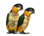 Two Young Black-capped Parrots (10 weeks old) isolated on white — Stock Photo