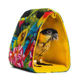 Young Black-capped Parrot (10 weeks old) standing in a bag, isol — Stock Photo