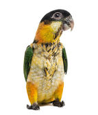 Young Black-capped Parrot (10 weeks old) isolated on white — Stock Photo
