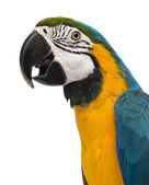 Close-up of a Blue-and-yellow Macaw (14 weeks old) isloated on w — Stock Photo